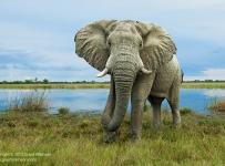 GrantAtkinson-Savuti-Storm-Elephant_4826odp