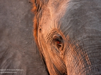 GrantAtkinson-Savuti_ElephantEye_6875odp