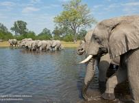 GrantAtkinson-Savuti_ElephantHerd8412-odp