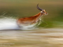 A male red lechwe sprints through a shallow water floodplain close to Tubu Tree camp in the Okavango Delta, Botswana.