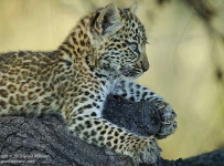 A leopard cub of around three months age flexes its' claws against the bark of the tree trunk it is resting on.  This cub was photographed near Mombo, in the Okavango Delta, Botswana.  This cub was one of two belonging the leopard known as Legadima