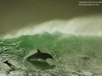 Windblown Wave Dolphin