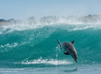 Wave-Jumping Dolphin