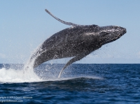 GrantAtkinson-WildCoast-Humpbacked-Whale_4882
