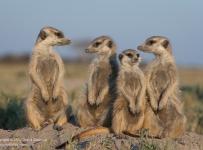 Meerkats, Makgadikgadi Pans, Botswana