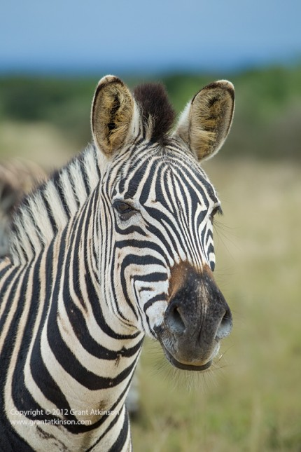 Burchells zebra, Equus burchelli, portrait