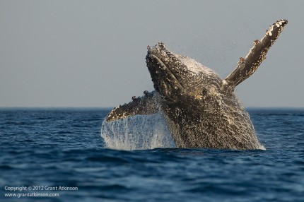 Humpbacked whale breaching, Indian Ocean