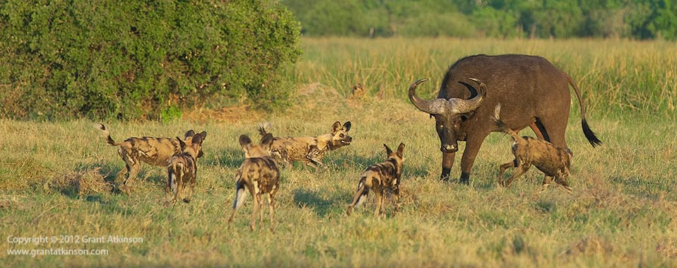 Wild dogs and Buffalo