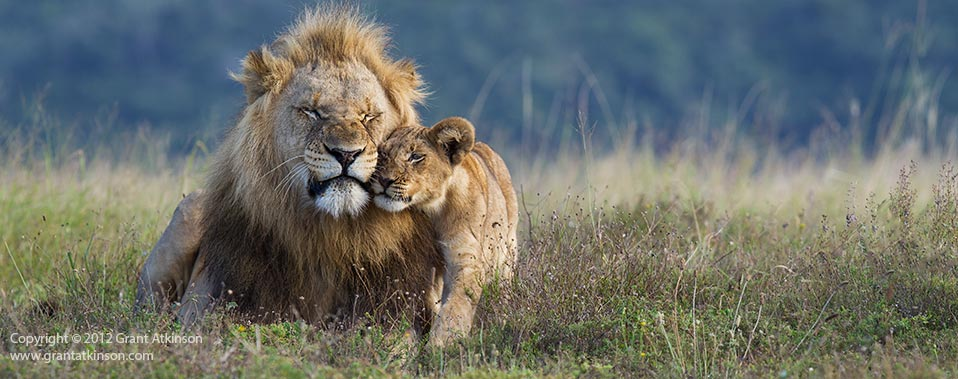 Lion affection