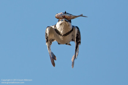 Pied kingfisher with catch.  Canon EF 600 f4 L IS ii and Canon 5Dmk3.  Shutter speed 1/5000sec at f5.0, Iso 500.  Handheld.