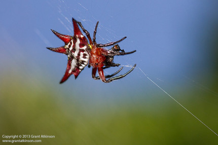 Kite spider - Tokina AT-X 100 macro lens, Canon 7D. Shutter speed 1/250sec at f/9, iso 500, fill flash.  Handheld.