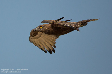 Brown snake eagle. Canon EF 200-400 f4L with 1.4x extender engaged and Canon 5Dmk3.  Focal length 560mm.  Shutter speed 1/5000sec at f5.6, Iso 500.  Cropped from a 22mp original to 2mp.  Click for larger view