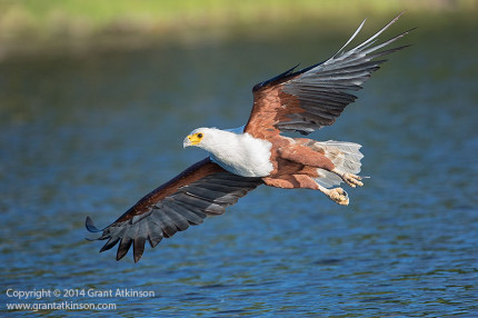 African fish eagle, Chobe River. Canon 5Dmk3 and EF 500f4L IS. Shutter speed 1/1600sec at f6.3, Iso 640. Click for larger view