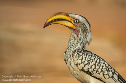 Yellowbilled hornbill, Namibia. Canon EF 100-400L f4.5-5.6 IS and 5Dmk3, Shutter speed 1/1600sec at f6.3, Iso 400. Focal length 400mm. Click for larger view
