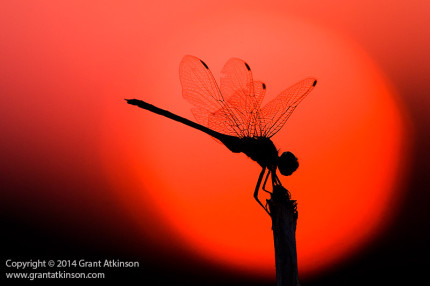 Dragonfly at sunset, Botswana. Canon EF 100-400L IS and EOS 40D. Shutter speed 1/320sec at f8.0, Iso 320