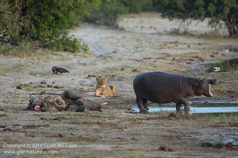 Grantatkinson Chobe River A on Hippo Rear End