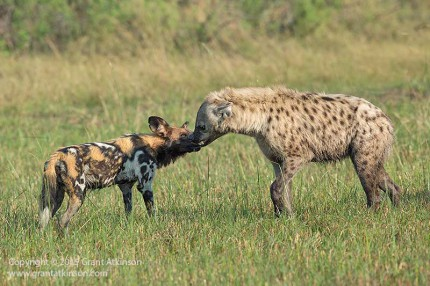 The wild dog and spotted hyaena touch noses. Canon 5dmk3 and EF 500L f4 IS. Shutter speed 1/2000sec a t5.6, iso 800. Click for larger view