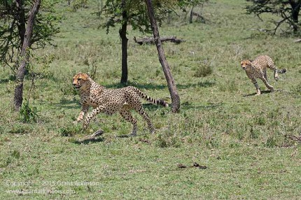 Brother chasing brother. Canon 5dmk3 and EF 70-300L IS. Shutter speed 1/2500sec at f8, iso 800.