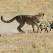 Cheetah Attack Bat-eared Fox, Kgalagadi
