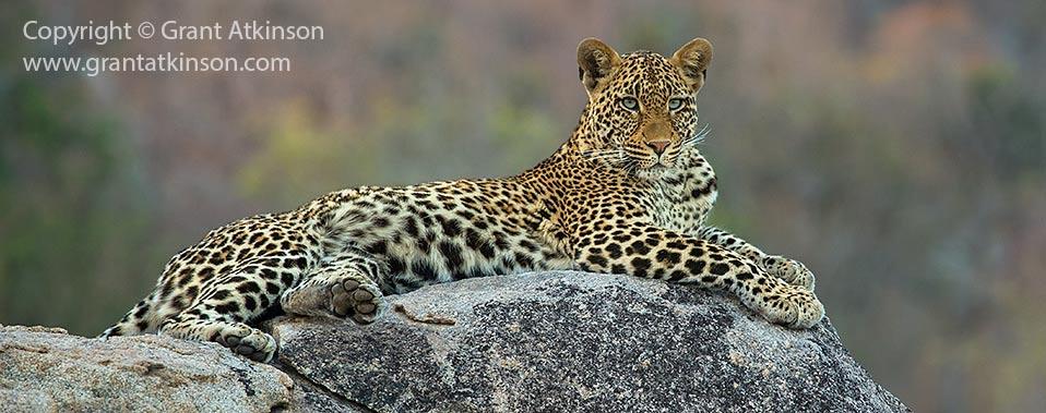 Leopard rock Kruger