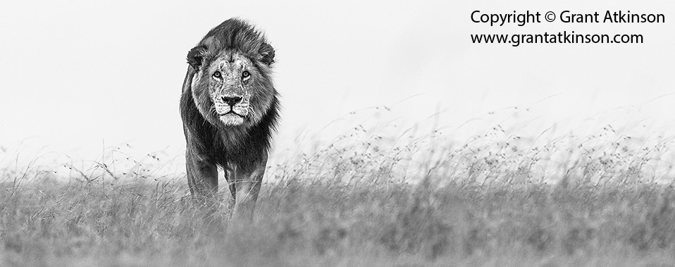 Male lion on Mara patrol