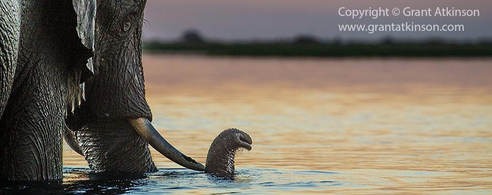 Chobe elephant crossing