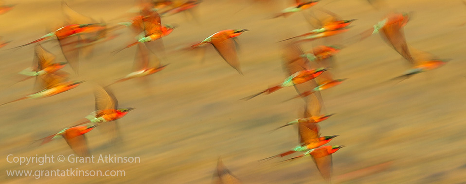 Bee-eaters in motion, Botswana