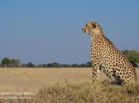 A male cheetah on an old termite mound, in the Vumbura area of the Okavango Delta, Botswana