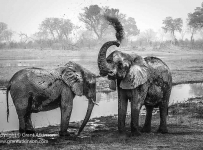A pair of elephants dust-bathe close to the Savuti Channel in the north of Botswana.