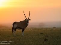 GrantAtkinson-Central-Kalahari_Oryx-Sunrise8416