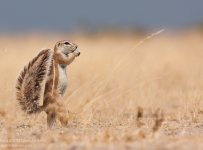 GrantAtkinson-CentralKalahari-Ground-Squirrel_3707odp