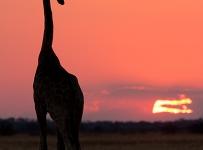 GrantAtkinson-Kalahari-Giraffe-Sunset_3655odp