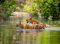 HelenaAtkinson_Bandhavgarh-2319-3