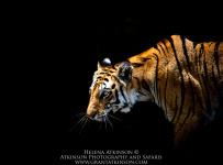 HelenaAtkinson_Bandhavgarh-2642