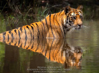 HelenaAtkinson_Bandhavgarh-3293-2