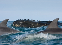 GrantAtkinson_WildCoast-Dolphin-and-Whale_1531odp