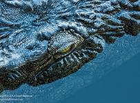 GrantAtkinson-KwandoRiver_Shaded-Croc_1773-1