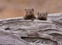 A pair of dwarf mongooses peer from the refuge of a fallen tree stump.  These social mongooses are active during the day and live in highly social groups.  This image was taken at Savuti camp in northern Botswana.