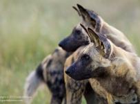 GrantAtkinson-Savuti_Alpha-Pair-Dogs-9554