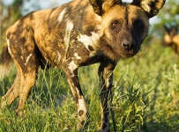 An adult wild dog stops to gaze at the camera with interest.  Wild dogs are curious animals and will often make close approaches to within a few feet of a vehicle.  This dog was part of a pack setting out on a hunt, close to Chitabe Camp, in the Okavango Delta, Botswana.  Protected areas in Botswana are still home to good numbers of wild dogs.