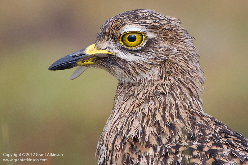 Spotted thick-knee, bird, portrait, Canon