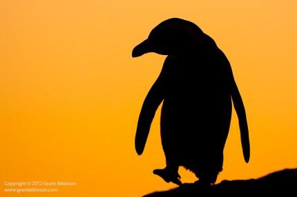 Sunrise African Penguin Spheniscus demersus