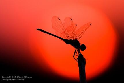 Odonata Sun