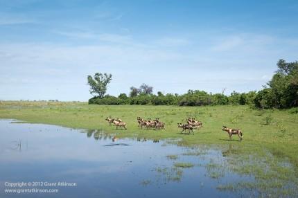 Grant Atkinson Linyanti Wild dogs