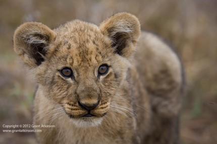 GrantAtkinson-Savuti-20090930-8224, lion, panthera leo, Savuti, Botswana