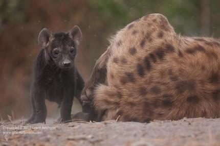 Grant Atkinson-Spotted hyaena, Crocutta crocutta