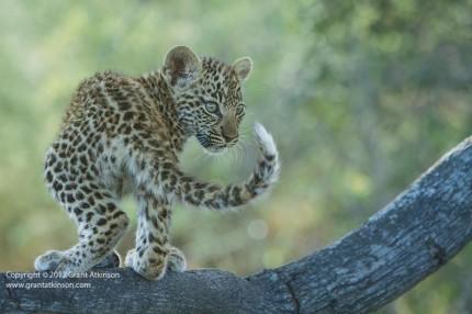 Grant Atkinson, leopard, panthera leo, cub, tree, Botswana