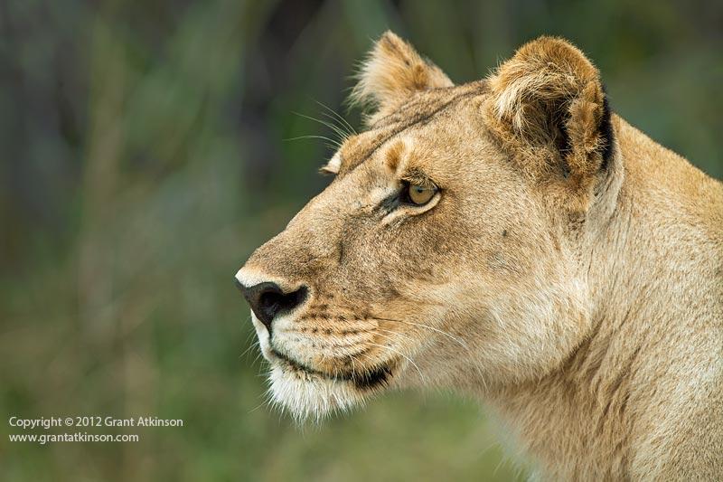 Grant Atkinson Lioness Jacana