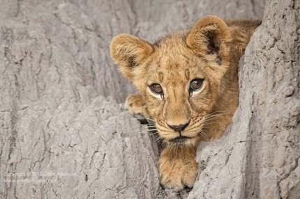 GrantAtkinson-Mombo-Lion Cub-Mound