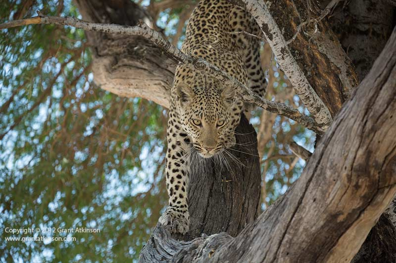 Grant Atkinson Leopard Chitabe